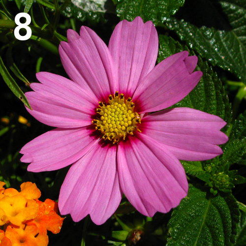 Fiori di fibonacci for Fiori con la l